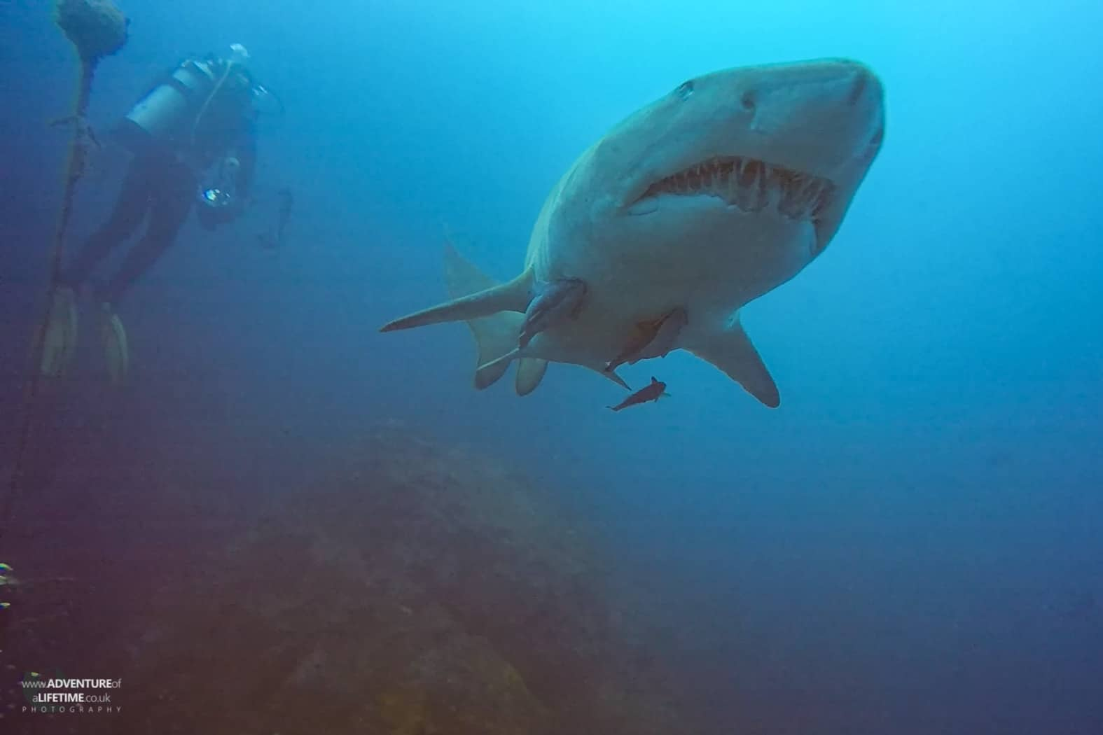 Grey Nurse Shark, Wolf Rocks