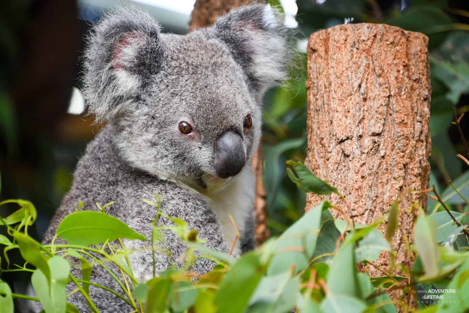 Koala in his tree