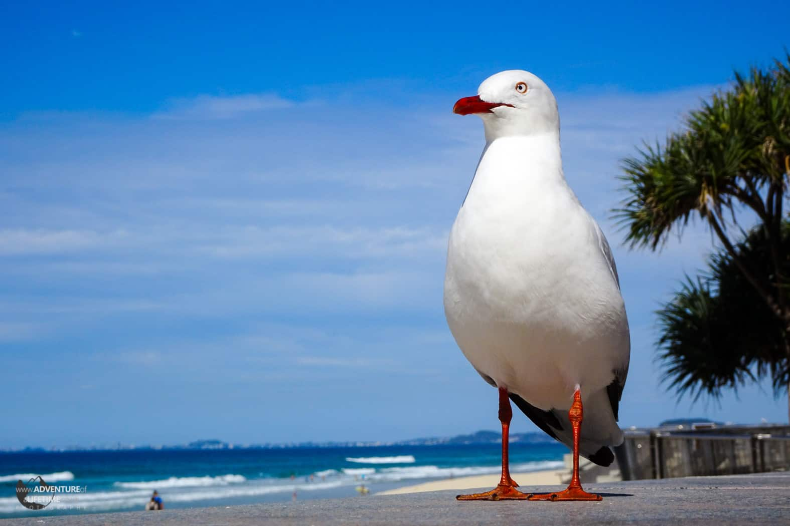 Majestic Seagull at Surfers Paradise