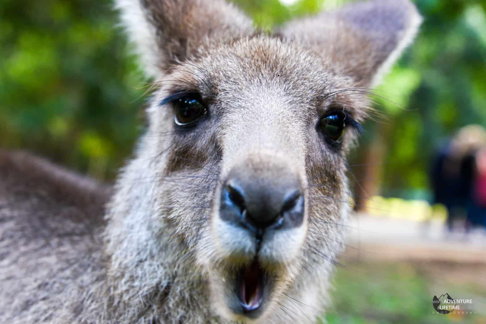 Oi! Kangaroo at Australia Zoo