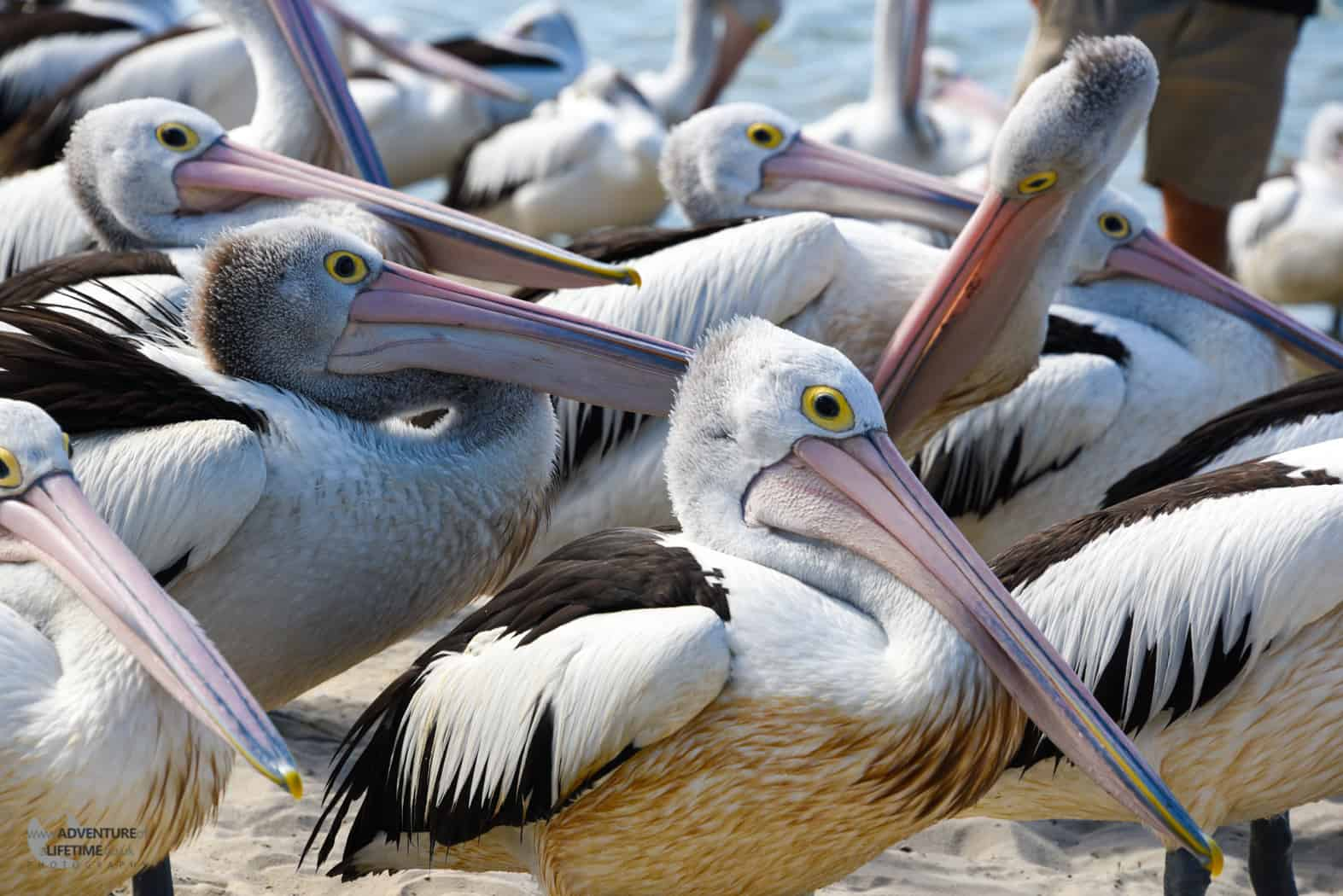 Pelican feeding Surfers Paradise