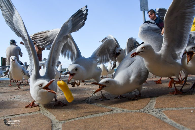 Seagull frenzy Surfers Paradise