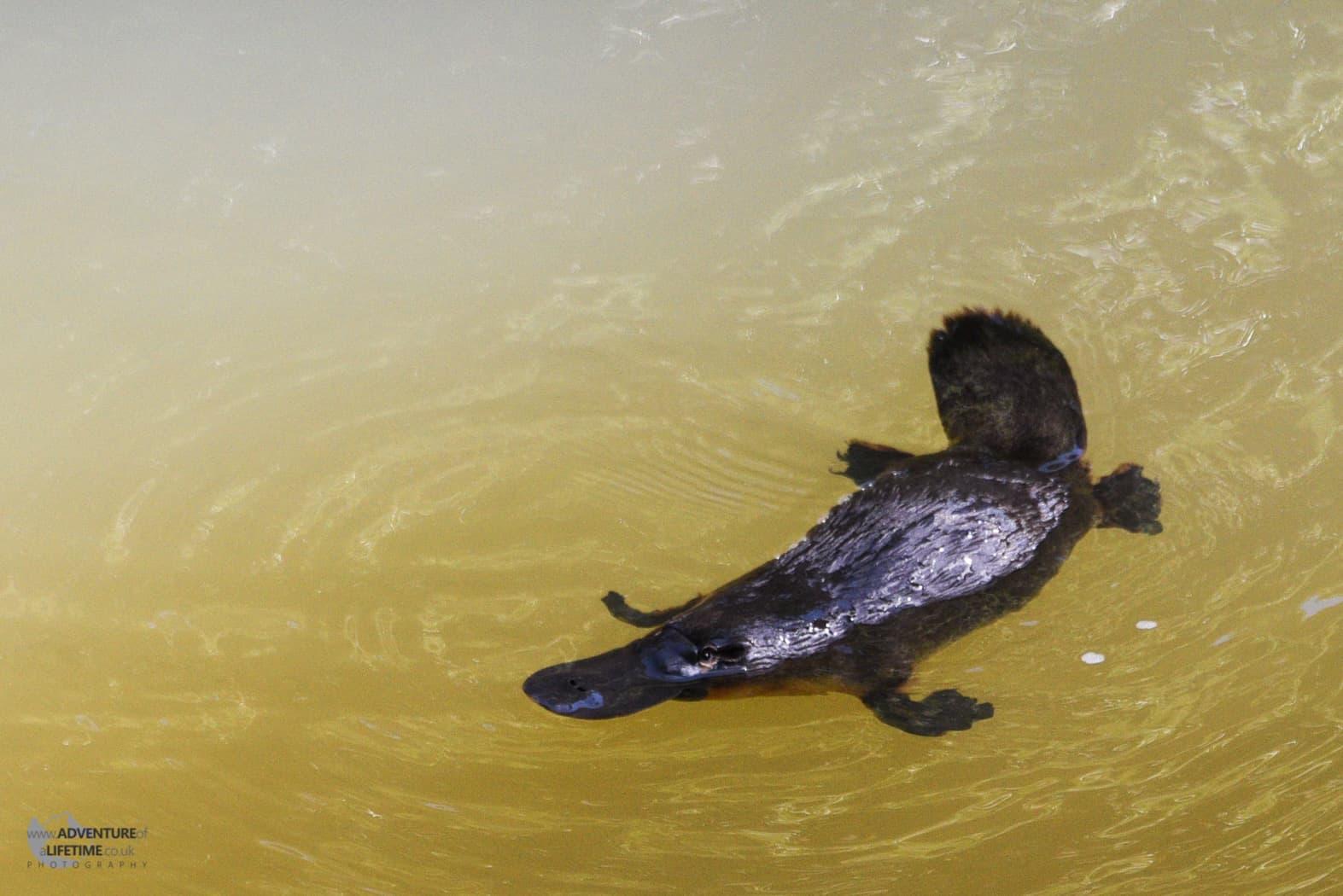 The Australian Platypus