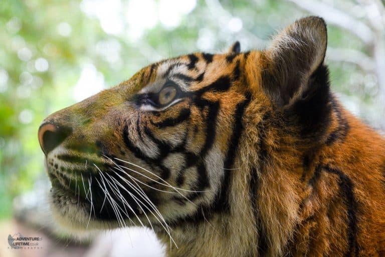 Tiger at Australia Zoo