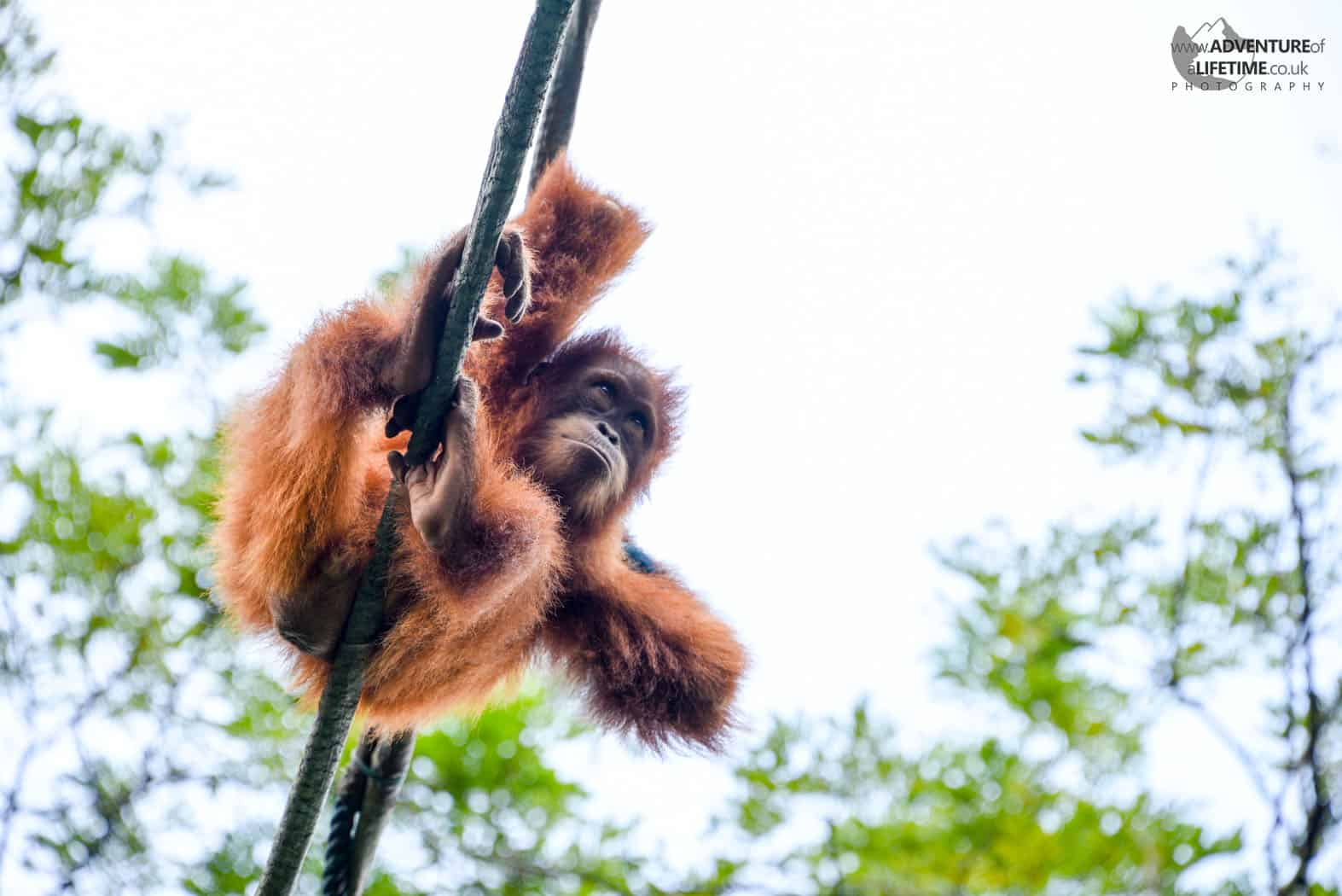 Baby Orangutan Singapore Zoo