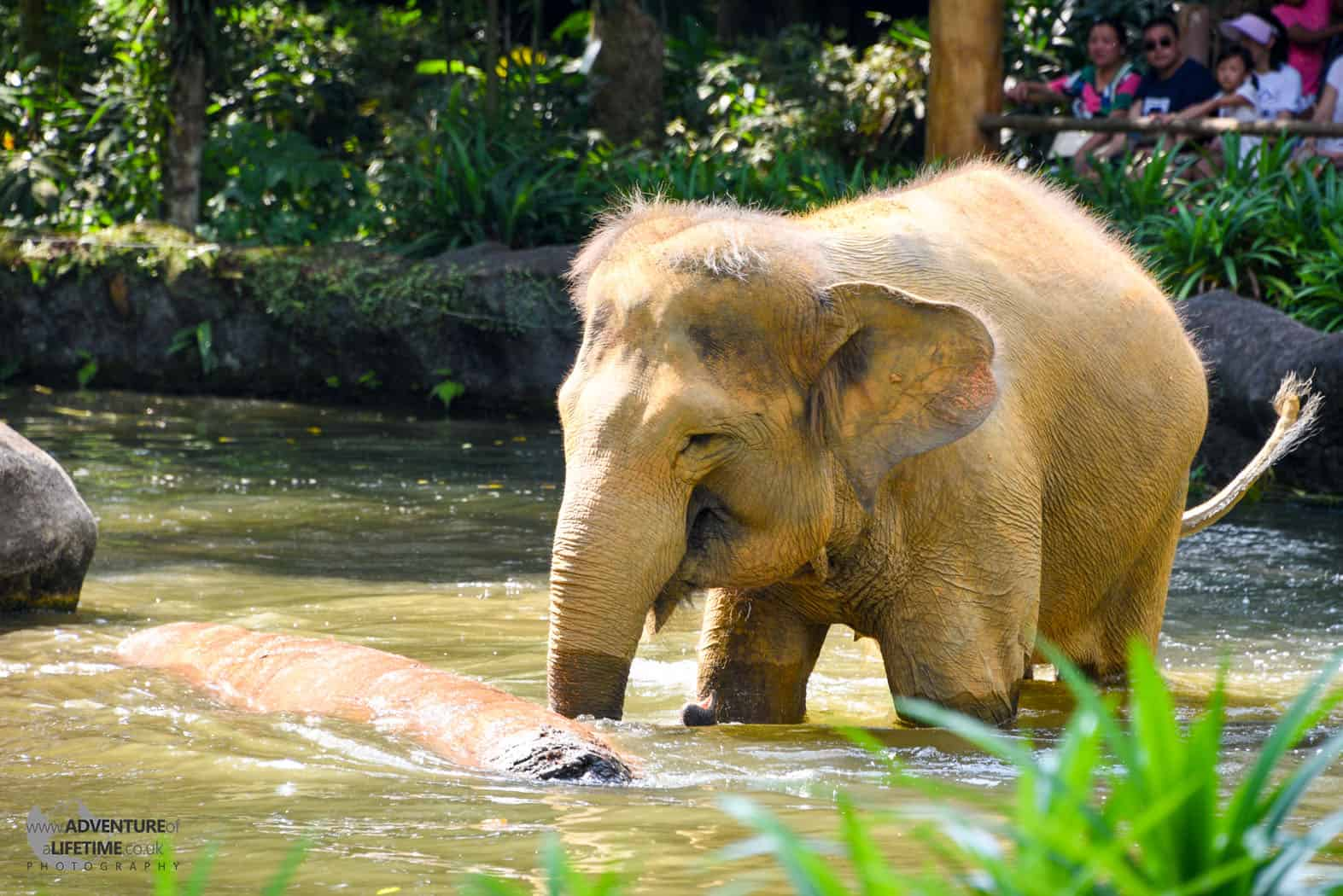 Elephant in Water Singapore Zoo