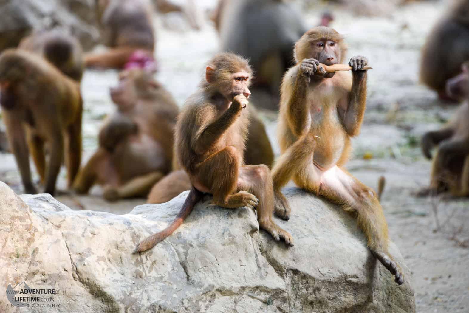 Monkey Gang Singapore Zoo