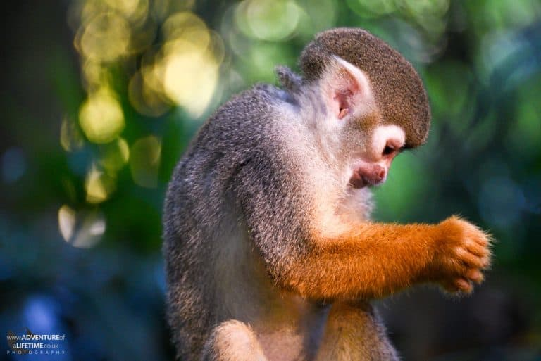 Quizzical Monkey at Singapore Zoo