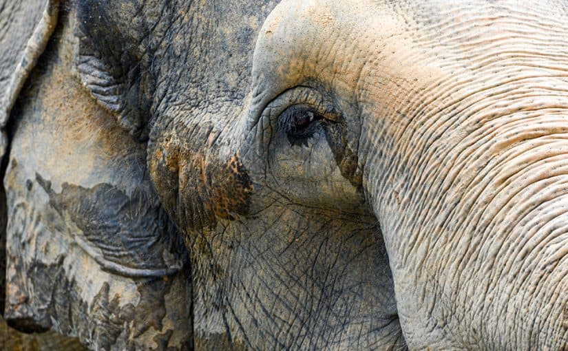 Asian Elephant Close Up