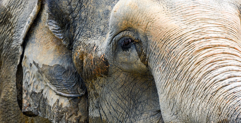 Asian Elephant Close Up