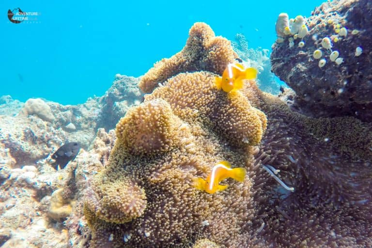 Coral and anemones on a snorkelling trip, Flores, Indonesia