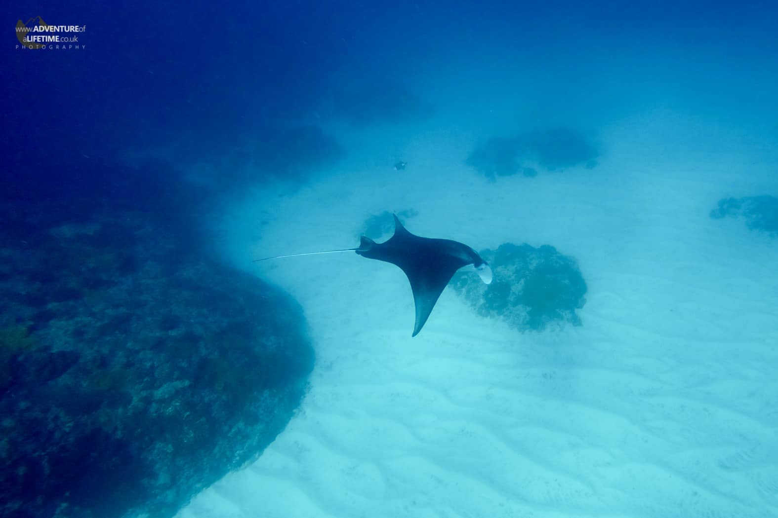 A graceful manta ray off the coast of Nusa Lembongan