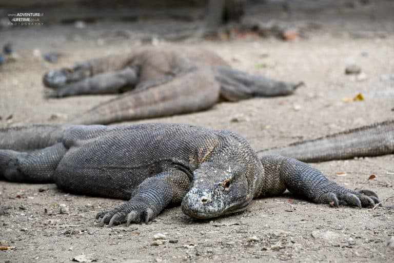 Komodo Dragons rest on Rinca Island