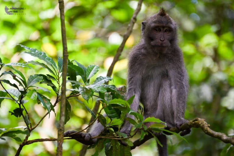 Monkey at the Monkey Forest Ubud