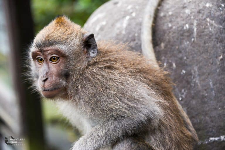 Monkey in Ubud