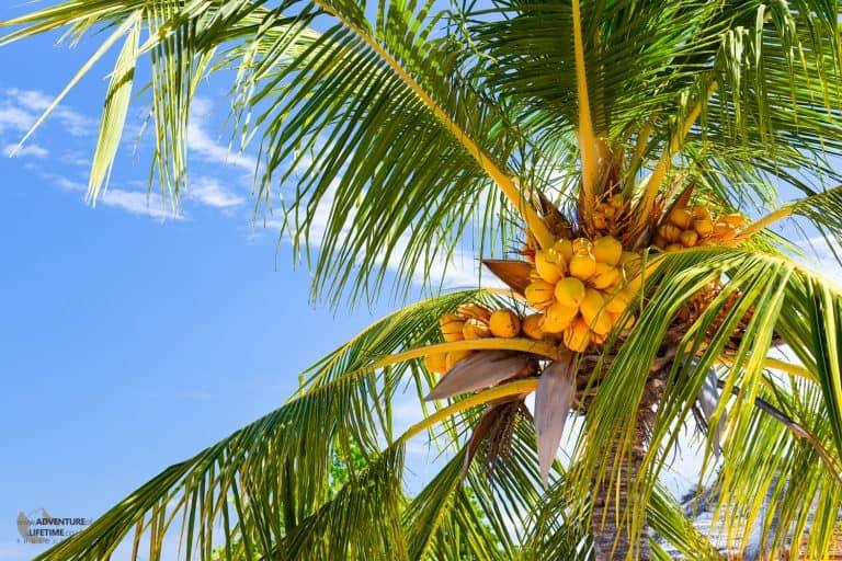 Tropical coloured palm tree, Kanawa Island