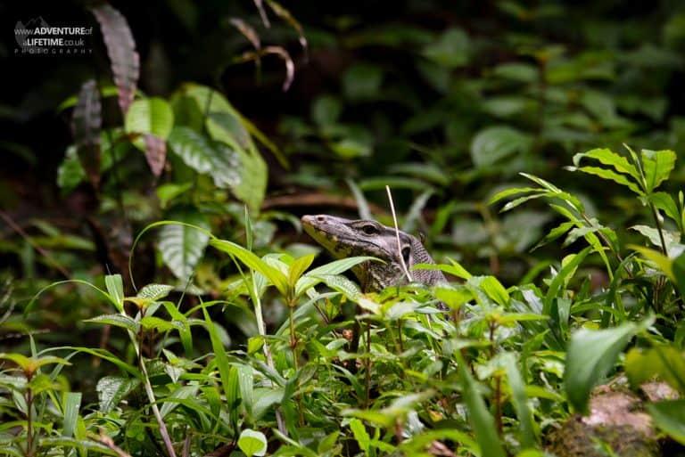 Asian Water Monitor Lizard