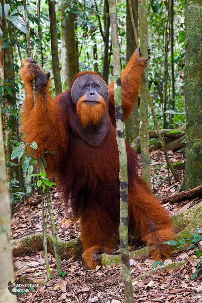 Full height of a male Sumatran Orangutan