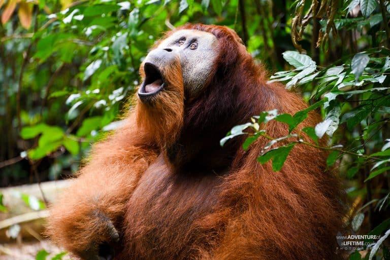 Howling Male Sumatran Orangutan