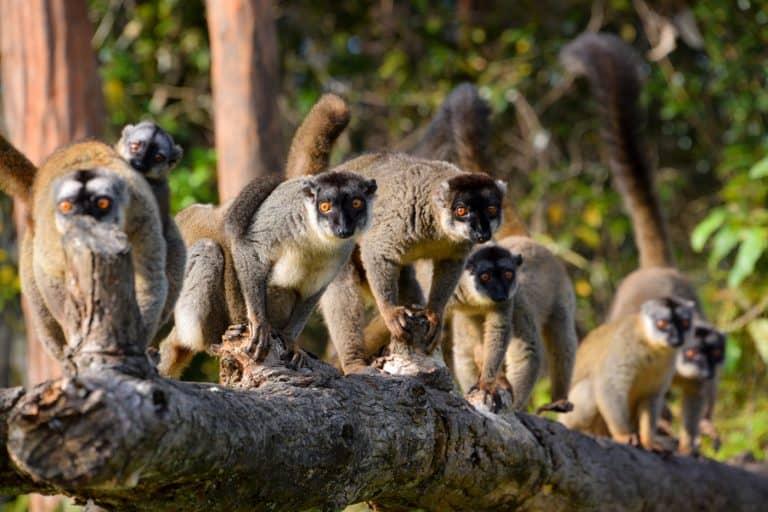 Honeymoon in Madagascar - Curious Wild Lemurs