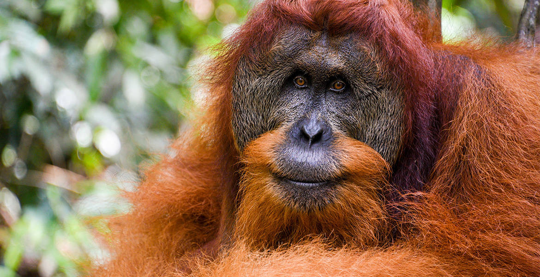 Male Sumartran Orangutan