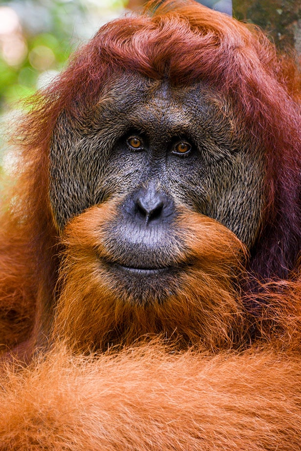 Male Sumartran Orangutan