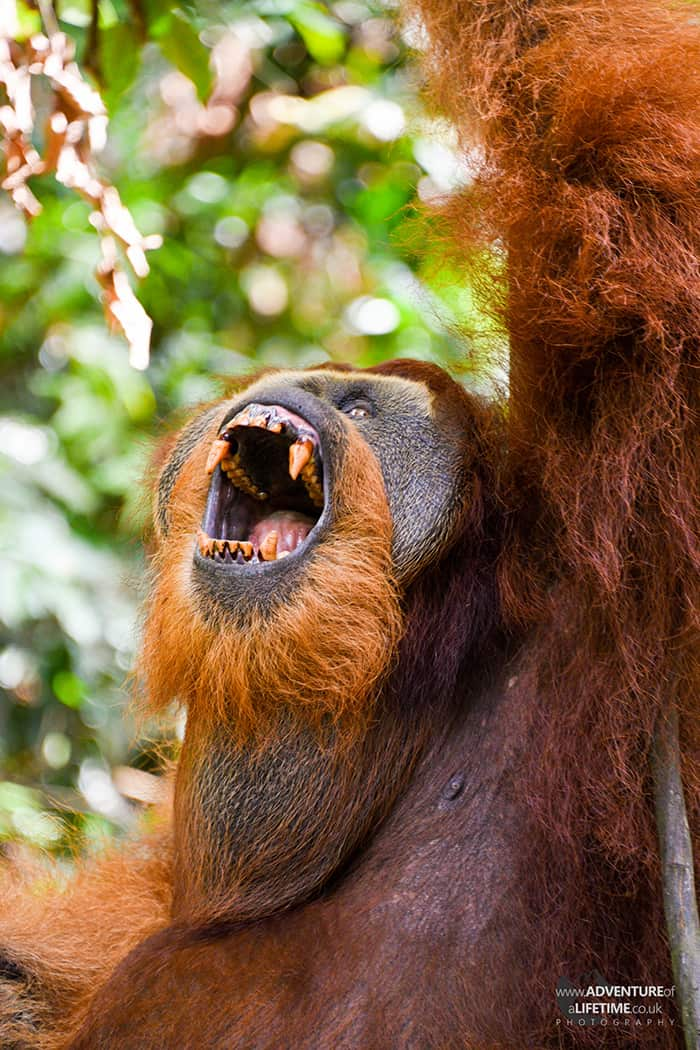 Male Sumatran Orangutan Showing his Teeth