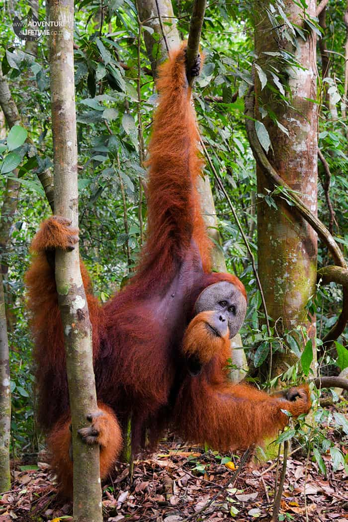 Male Sumatran Orangutan hanging around