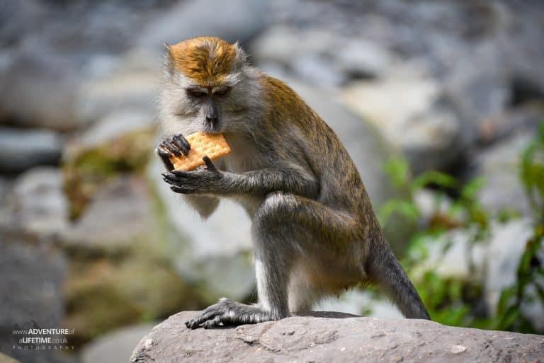 Sneaky camp monkey stealing crackers - Sumatra
