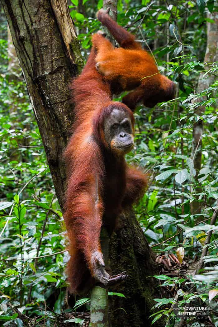 Sumatran Orangutan Meena and baby