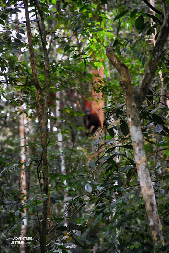 Sumatran Orangutan Meena