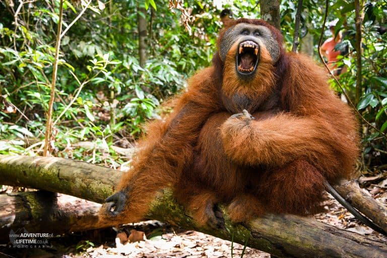 Sumatran Orangutan yawning showing his big teeth