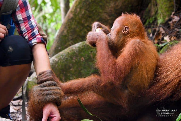 Sumatran Orangutan clinging onto Dora
