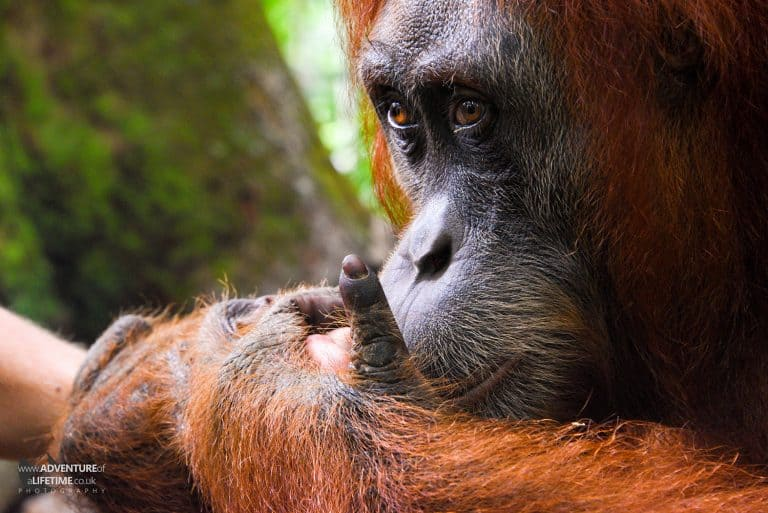 Sumatran Orangutan gumming fingers