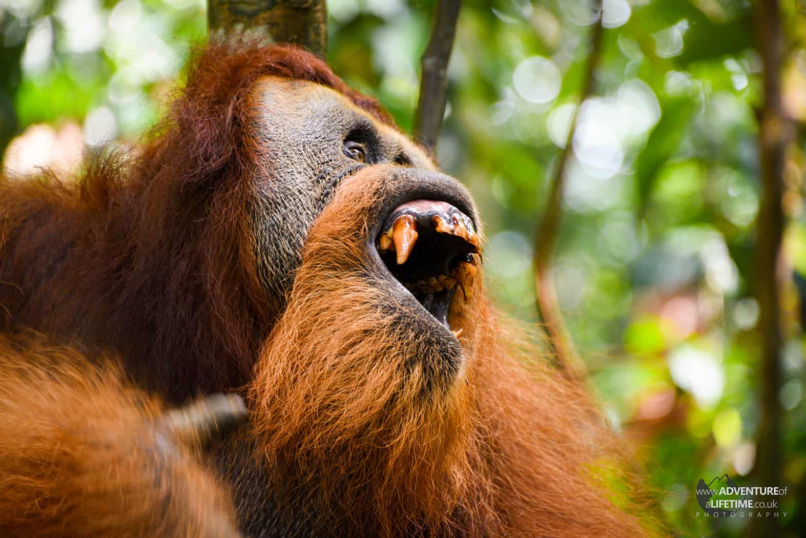 Sumatran Orangutan showing his teeth
