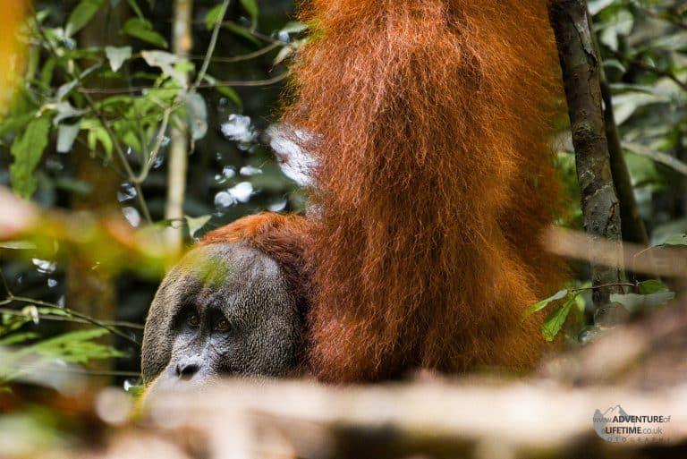 Sumatran Orangutan through the rainforest trees