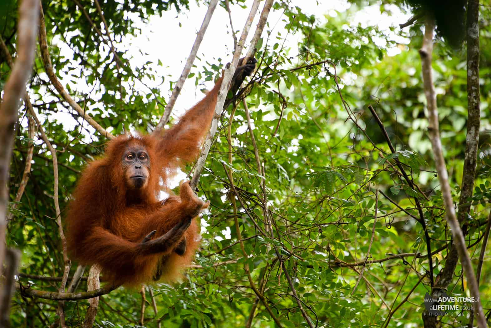 Young Sumatran Orangutan sitting in tree