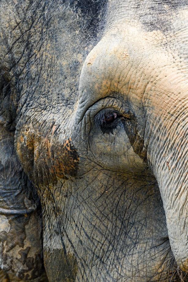 Asian Elephant, Singapore Zoo