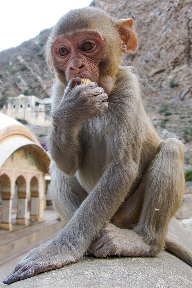 Baby monkey at the Monkey Temple