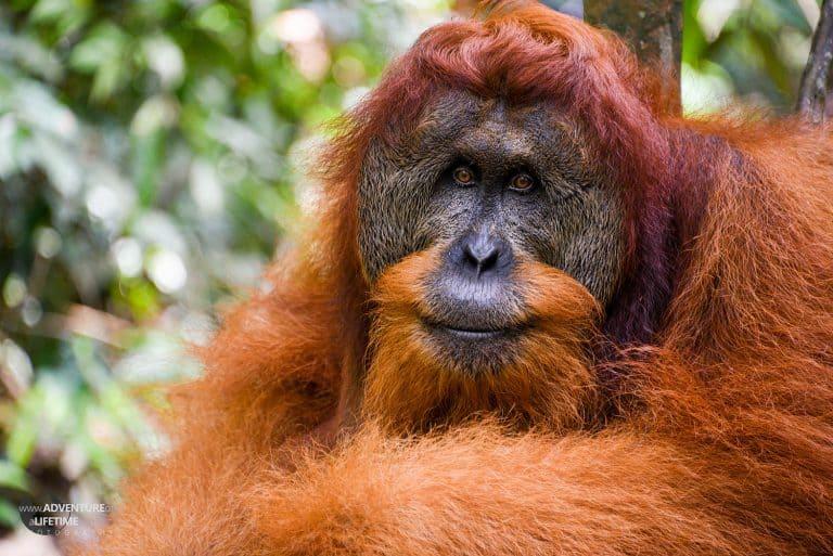 Sumatran Orangutan Face